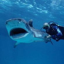 Дайвер и акулы