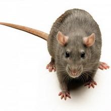 Гигантские крысы из подземелий Москвы